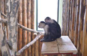 capucin cu faţă albă zoo brasov